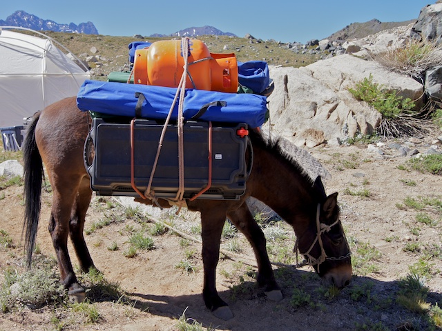 After hauling a propane tank and other supplies into base camp, a mule munches grass while waiting to be unloaded. Credit: Nathalie Cabrol